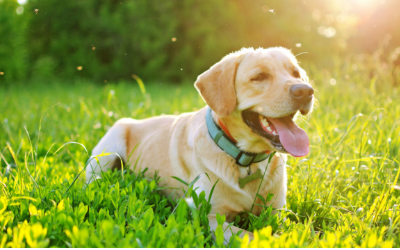 image for Summer Safety Tips for Your Dog